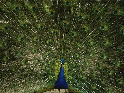 A Male Peacock Displays His Plumage-Joel Sartore-Photographic Print