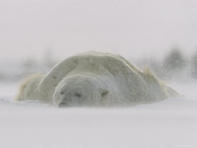 A Male Polar Bear Rests in Snow-Norbert Rosing-Photographic Print