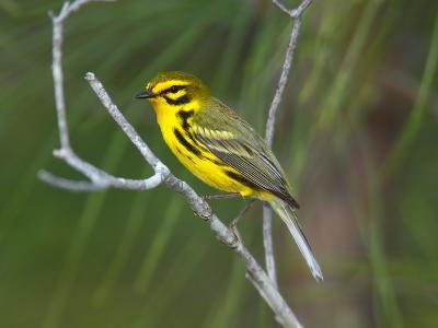 A Male Prairie Warbler, Dendroica Discolor, Perched on a Tree Limb-George Grall-Photographic Print