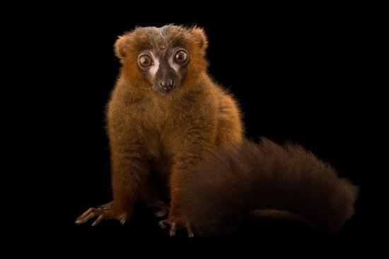 A Male Red-Bellied Lemur, Eulemur Rubriventer, at the Duke Lemur Center-Joel Sartore-Photographic Print