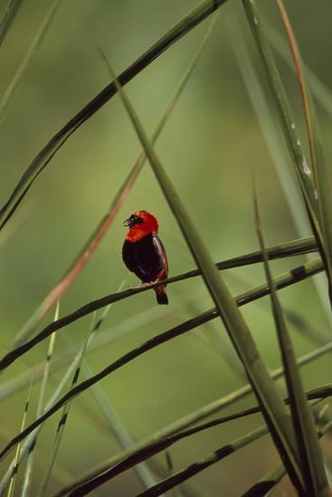 A Male Red Bishop Bird, Euplectes Orix, Perched On a Sedge, Calling-David Pluth-Photographic Print