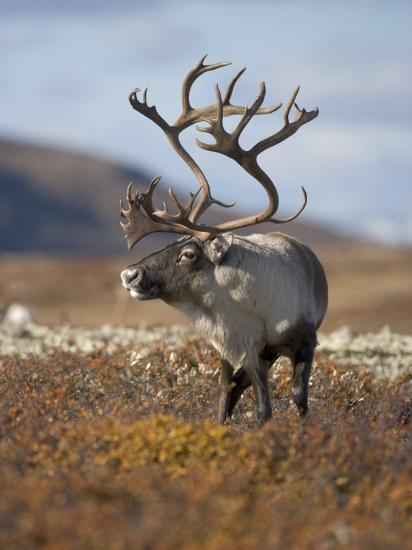 A Male Reindeer in Norway--Photographic Print