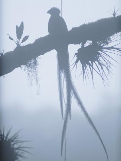 A Male Resplendent Quetzal is Silhouetted on Tree Branch Festooned with Air Plants-Steve Winter-Photographic Print