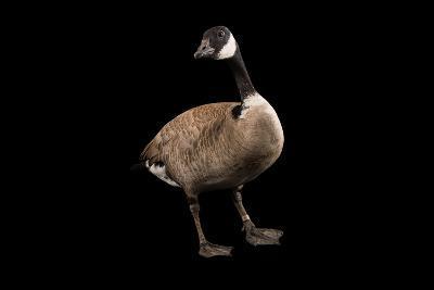 A Male Richardson's Cackling Goose, Branta Hutchinsii, at Sylvan Heights Bird Park-Joel Sartore-Photographic Print