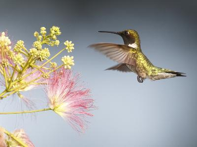 A Male Ruby-Throated Hummingbird Feeding on Mimosa Flowers-George Grall-Photographic Print
