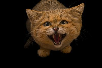 A Male Sand Cat, Felis Margarita, at the Chattanooga Zoo-Joel Sartore-Photographic Print