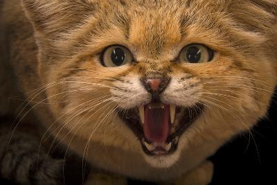 A Male Sand Cat, Felis Margarita, at the Chattanooga Zoo-Joel Sartore-Photographic Print