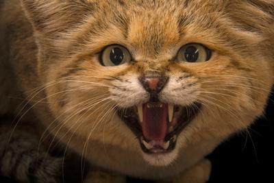 https://imgc.artprintimages.com/img/print/a-male-sand-cat-felis-margarita-at-the-chattanooga-zoo_u-l-q13htn10.jpg?p=0