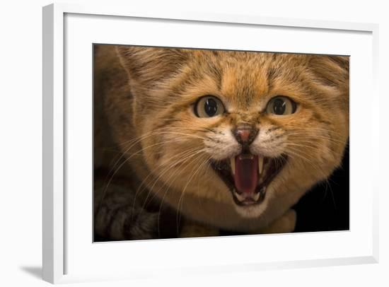 A Male Sand Cat, Felis Margarita, at the Chattanooga Zoo-Joel Sartore-Framed Photographic Print