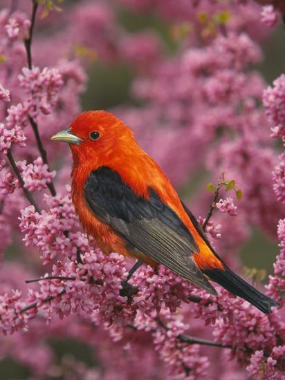A Male Scarlet Tanager, Piranga Olivacea, in a Flowering Redbud Tree, Eastern USA-Adam Jones-Photographic Print