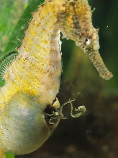 A Male Sea Horse with Young Emerging from Birthing Sac-George Grall-Photographic Print