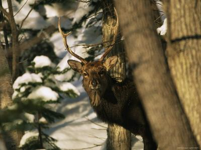 A Male Sika Deer in a Snowy Forest-Tim Laman-Photographic Print