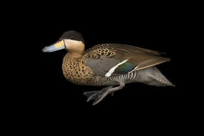 A Male Silver Teal, Anas Versicolor, at Sylvan Heights Bird Park-Joel Sartore-Photographic Print