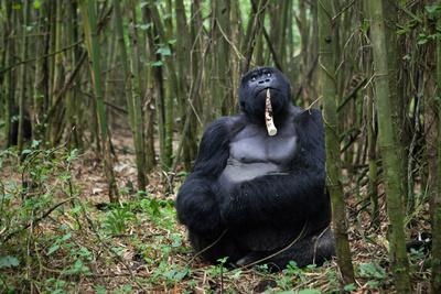 https://imgc.artprintimages.com/img/print/a-male-silverback-mountain-gorilla-gorilla-gorilla-beringei-eating-in-a-bamboo-forest-at-rest_u-l-pokyer0.jpg?p=0