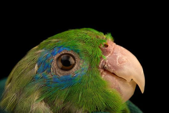 A male spectacled parrotlet, Forpus conspicillatus, at Piscilago Zoo   Photographic Print by Joel Sartore | Art com