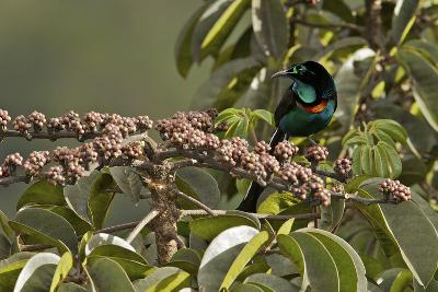 A Male Splendid Astrapia Feeds At Fruiting Schefflera Tree-Tim Laman-Photographic Print