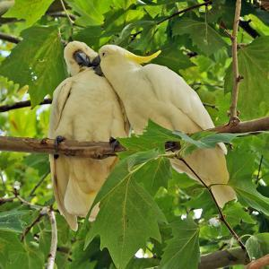 A Male Sulphur Crested Cockatoo Preening His Mate, Sydney, New South Wales