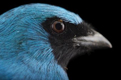 A Male Swallow Tanager, Tersina Viridis, at the Houston Zoo-Joel Sartore-Photographic Print