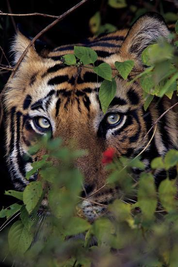 A Male Tiger In Bandhavgarh National Park-Steve Winter-Photographic Print