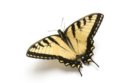 A Male Tiger Swallowtail Butterfly, Papilio Glaucas.-Joel Sartore-Photographic Print