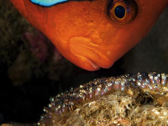 A Male Tomato Clownfish Tends to His Developing Eggs-David Doubilet-Photographic Print