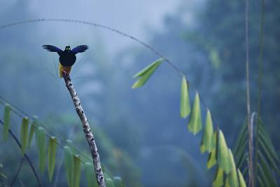 A Male Twelve Wired Bird of Paradise at His Display Pole-Tim Laman-Photographic Print