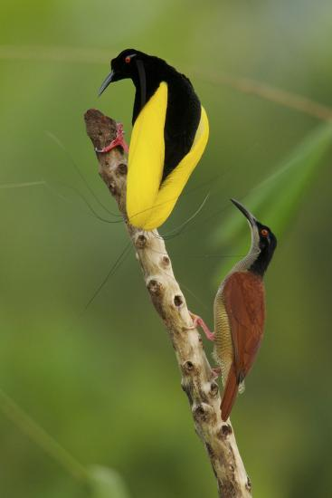 A Male Twelve Wired Bird of Paradise Brushes the Female with Feathers-Tim Laman-Photographic Print