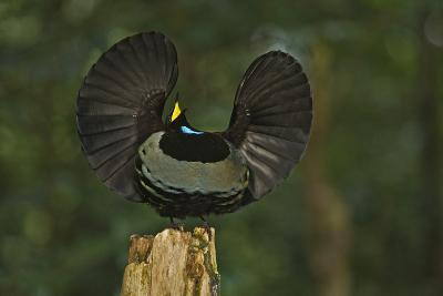 A Male Victoria's Riflebird on Display Perch Tries to Lure Down a Female with His Spread Wings-Tim Laman-Photographic Print