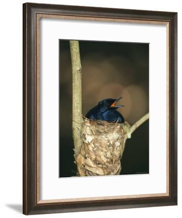 A Male Victorias Riflebird in Nest, Cape York Peninsula, Queensland-Joe Stancampiano-Framed Photographic Print
