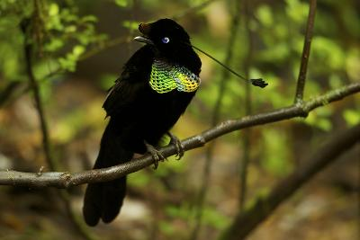 A Male Wahne's Parotia On Perch Above Display Court-Tim Laman-Photographic Print