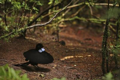 A Male Wahnes's Parotia Bird of Paradise Performs a Ballerina Display-Tim Laman-Photographic Print