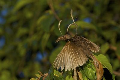A Male Wallace's Standardwing Bird of Paradise At His Display Site-Tim Laman-Photographic Print
