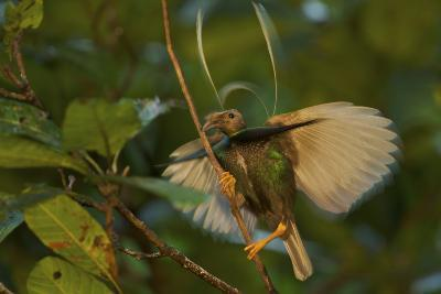 A Male Wallace's Standardwing Bird of Paradise Performs a Display-Tim Laman-Photographic Print