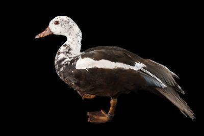 A Male White Winged Duck, Asarcornis Scutulata, at Sylvan Heights Bird Park-Joel Sartore-Photographic Print