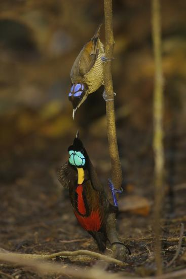 A Male Wilson's Bird of Paradise Displays to Female From a Sapling-Tim Laman-Photographic Print