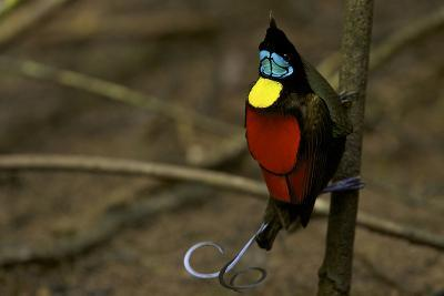 A Male Wilson's Bird of Paradise Performs a Pointing Display Posture On His Main Display Pole-Tim Laman-Photographic Print