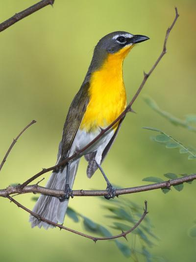 A Male Yellow-Breasted Chat, Icteria Virens, Is Perched in a Tree-George Grall-Photographic Print