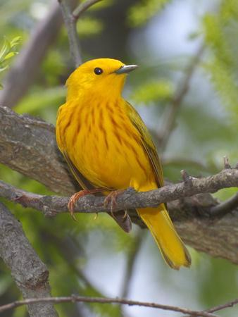 A Male Yellow Warbler, Dendrica Petechia, Perched on a Tree Branch-George Grall-Photographic Print