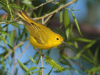 A Male Yellow Warbler,Dendroica Petechia Perched on a Tree Branch-George Grall-Photographic Print