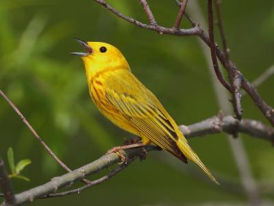 A Male Yellow Warbler, Dendroica Petechia, Singing a Territorial Song-George Grall-Photographic Print