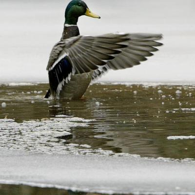 A Mallard Takes an Icy Bath--Photographic Print