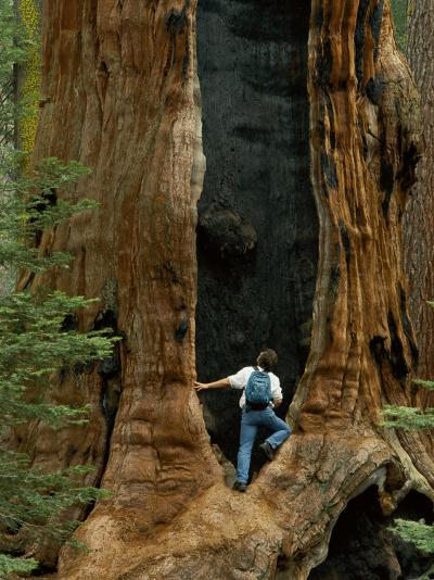 A Man Examines a Giant Fire Scar Left in a Sequoia Tree-Phil Schermeister-Photographic Print
