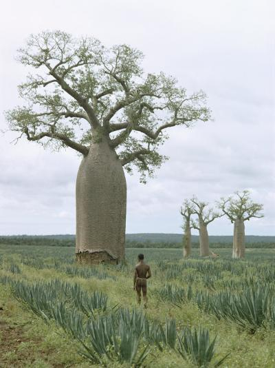 A Man Looks at a Baobab Tree-Luis Marden-Photographic Print