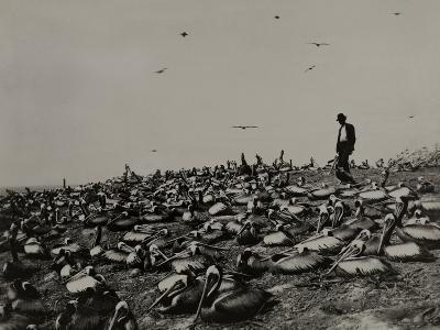 A Man Walks Amongst a Large Group of Pelicans in the Lobos De Afuera-Robert E. Coker-Photographic Print