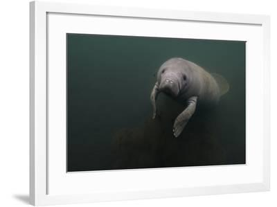 A Manatee Swims in Homosassa Springs-Cesare Naldi-Framed Photographic Print