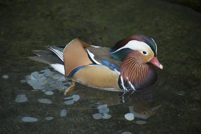 A Mandarin Duck, Aix Galericulata, at the Taronga Zoo-Joel Sartore-Photographic Print