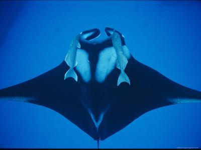 A Manta Ray with Remoras--Photographic Print