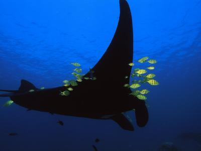 A manta ray with yellow striped jacks-David Doubilet-Photographic Print