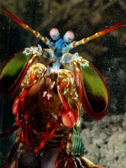A Mantis Shrimp-George Grall-Photographic Print