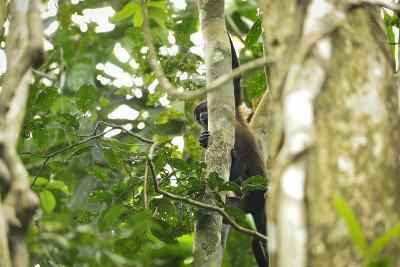 A Mantled Howler Monkey, Alouatta Palliata, on Barro Colorado Island-Jonathan Kingston-Photographic Print